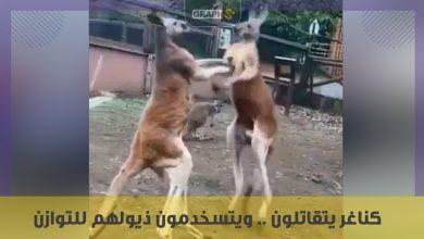 كناغر يتقاتلون