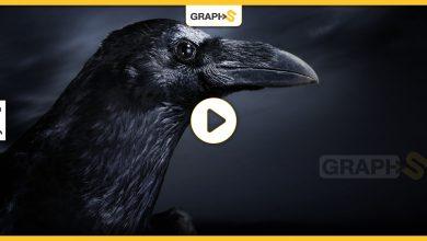 طائر غراب أسود