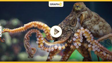 أخطبوط البحر