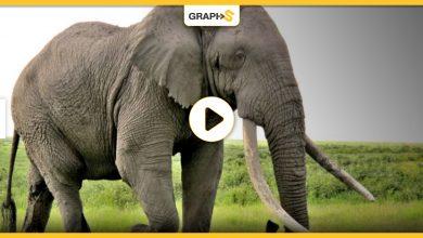 انثى فيل حامل