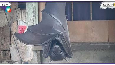 خفاش بحجم إنسان
