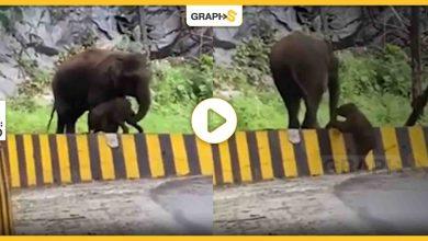 فيل ضخم