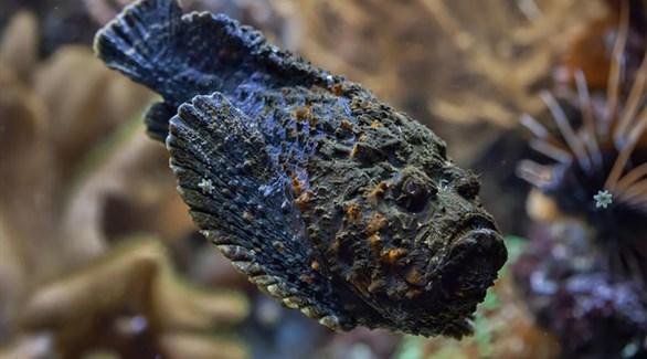 السمكة الحجرية