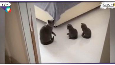 قطة تعلم صغارها
