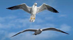 طائر النورس