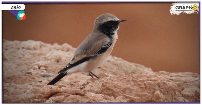 طائر الصرد