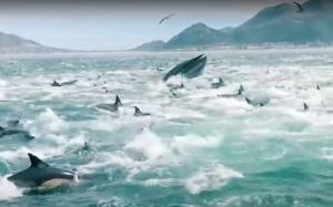 مشهد مهيب لمئات الدلافين