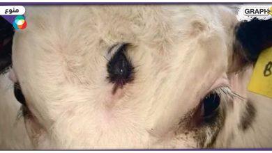 حيوان في مزرعة بريطانية