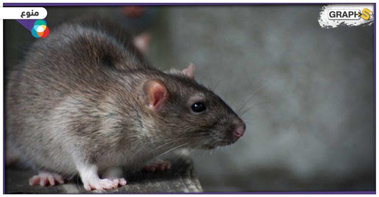 فأر ضخم