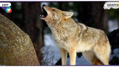 هجوم ذئب مفترس على عائلة