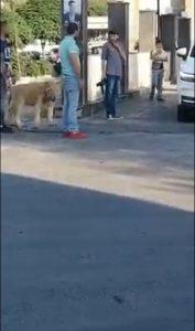شاب يتمشى برفقة أسد ضخم في دمشق