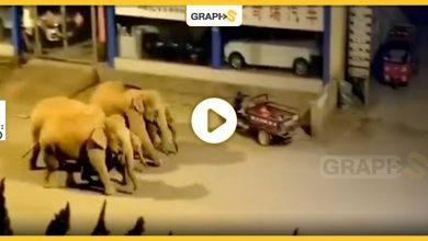 أفيال برية تقتحم إحدى مدن الصين