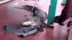 تمساح ضخم يغزو أحد المنازل