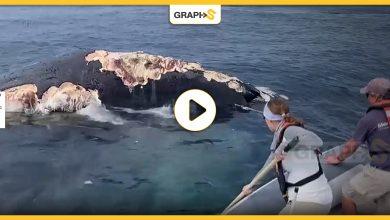بالفيديو   عالم أحياء يحاول إبعاد أسماك القرش الأبيض عن حوت أحدب ضخم وهي تتغذى عليه