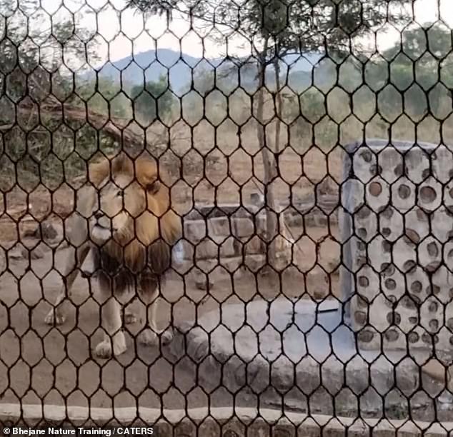 ضيوف مخيفون.. رجل من جنوب أفريقيا يتفاجئ بأسد ولبوته داخل منزله ويزأرون عليه أثناء إعداده القهوة - فيديو وصور