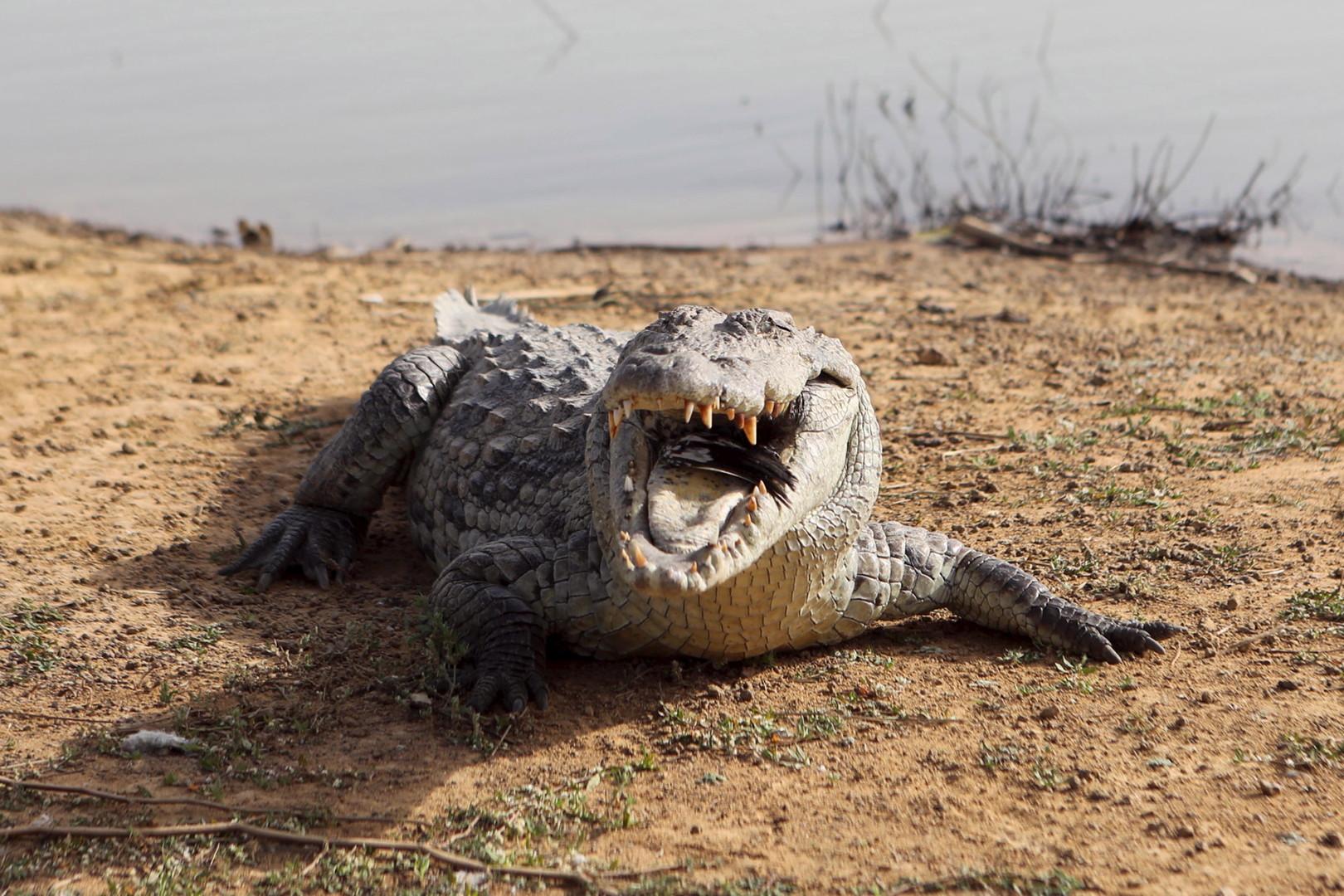 ظهور تماسيح النيل الأكثر عدوانية للأهالي.. السودان تحذر وحكومة مصر توضح