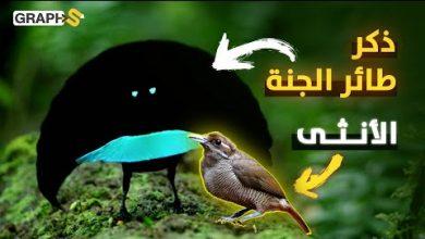طيور الجنة من أكثر الطيور جمالاً في العالم يمتص لونه 99.95 من الضوء ويرقص لساعات طويلة للأنثى يومياً