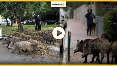 الخنازير البريّة تجتاح شوارع العاصمة الإيطالية روما لتثير الفوضى و تنشر الهلع في قلوب الأهالي - فيديو وصور