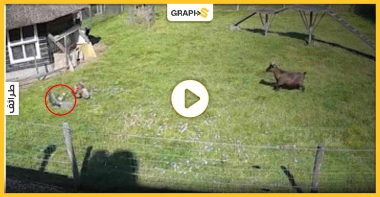 بالفيديو|| بموقفٍ بطولي ومثيرٍ للدهشة.. ديكٌ وماعز شجاعان يتدخلان لإنقاذ دجاجة من براثن صقر جارح