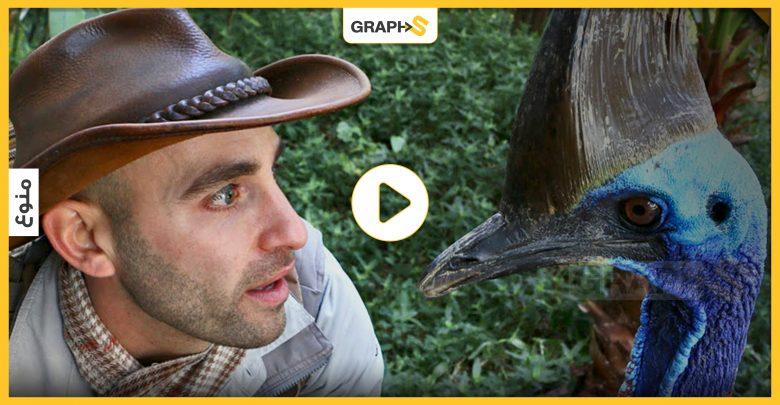 بالفيديو   أخطر طائر في العالم..قام الإنسان بتربيته قبل آلاف السنين..مخالبه تجاوزت الـ 10سم ووزنه وصل لـ60 كغ