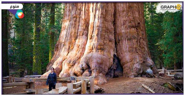 أكبر شجرة في العالم