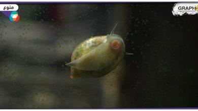 سمكة شفافة بدماغ مكشوف