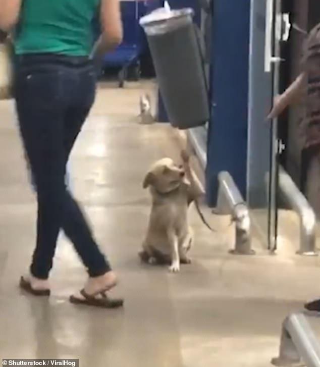 تحية رائعة يؤديها كلب للزبائن في أحد المتاجر بالبرازيل يثير إعجاب رواد مواقع التواصل - فيديو
