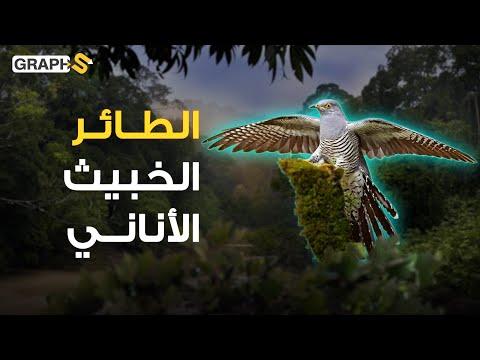 حيلة خبيثة تتبعها طيور الوقواق للتخلي عن أبنائها .. غدارة وتحب العزلة