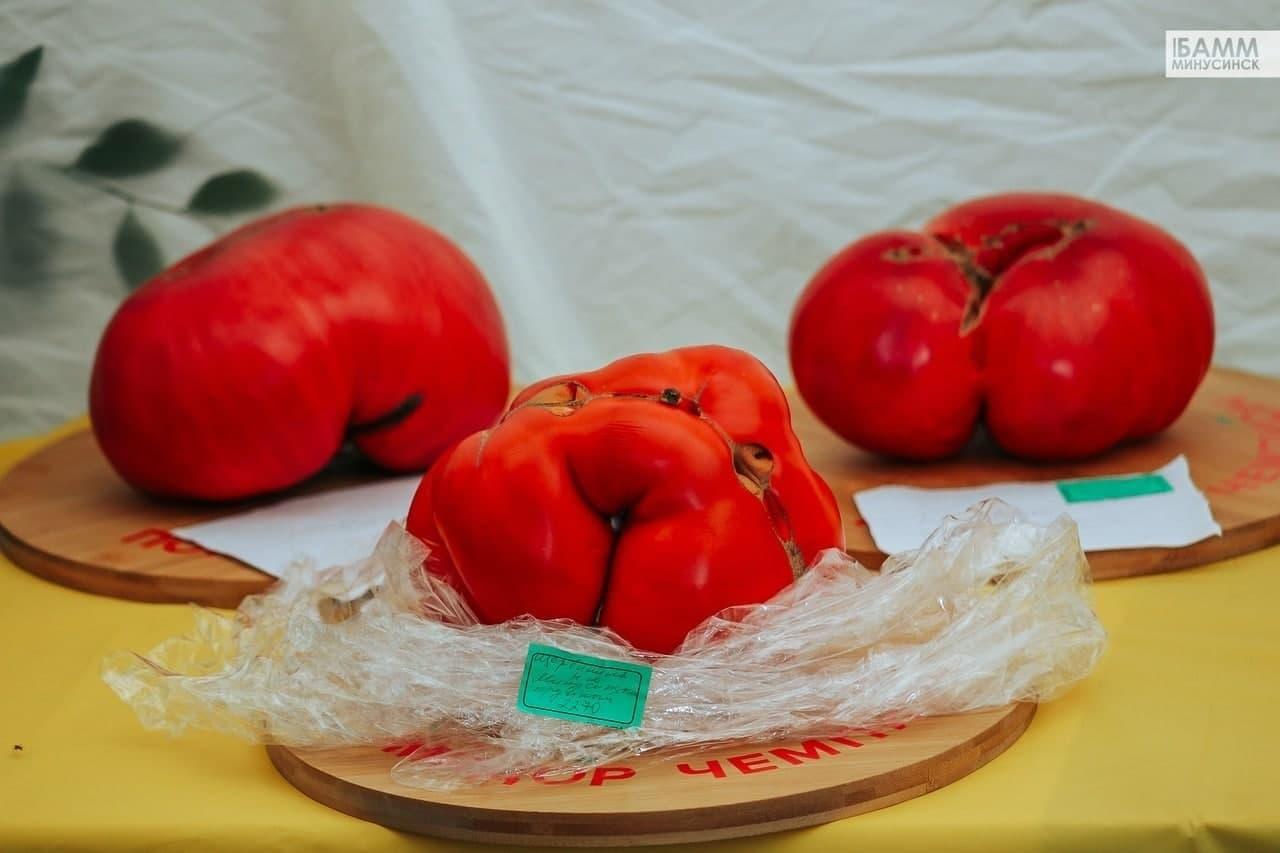 شاهد: تسجيل أكبر حبة طماطم في روسيا بوزن 2.2 كلغ