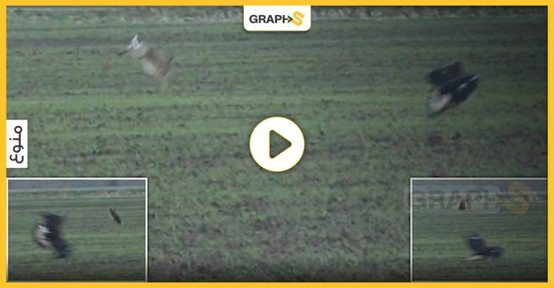 قفزة تتحدى الموت.. أرنب بني يقفز فوق النسر الذهبي لحظة محاولة افتراسه - فيديو