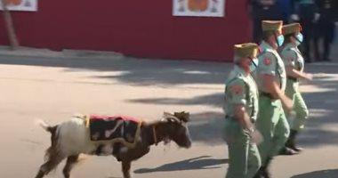 بالفيديو   ماعز الفيلق الإسباني تشارك في العرض العسكري بالعيد الوطني للبلاد